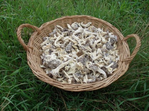 Funghi Cantharellus lutescens congelati (Finferle) - ONLY OFFLINE STORE